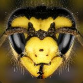 Vespa_Vespula_germanica_1