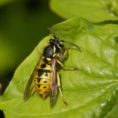 Vespa_Vespula_germanica_2